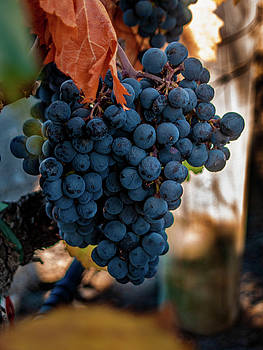 Red Wine Futures by Bill Gallagher