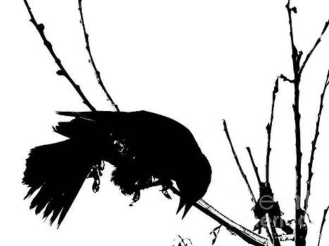 Red Wing Black Bird Silhouette by Ron Tackett