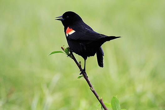 Alyce Taylor - Red Winged Blackbird