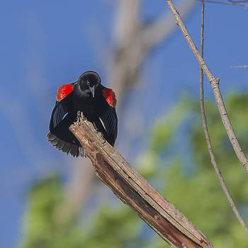 Red-winged Blackbird by Billy Stovall