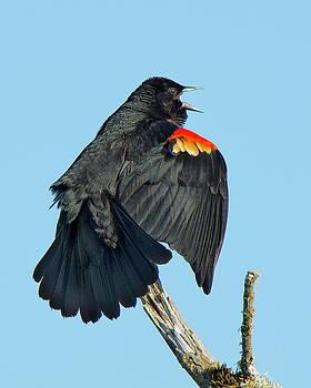 Red-winged Blackbird by Bob Stevens