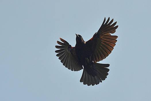 Red-winged Blackbird in-flight by Asbed Iskedjian
