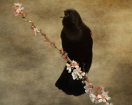 Red Winged Blackbird Song by TnBackroadsPhotos