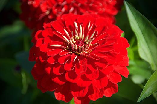 Red Zinia by Chris Alberding