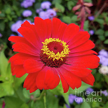 Red zinnia - blazing ring of fire by R V James