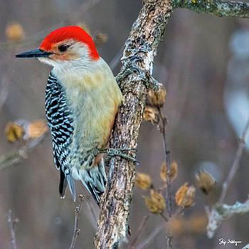 Redbellied Woodpecker by Skip Tribby
