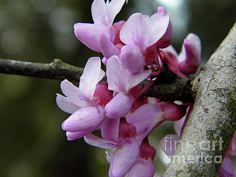 Redbud Blossoms Up Close by D Hackett