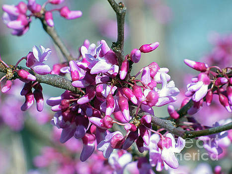 Redbud by Dragonfleyes Photography and Creations