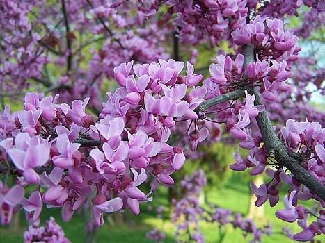 Redbud Purple Pansy by Sandy Collier