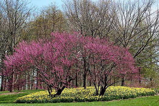 Rosanne Jordan - Redbuds and Daffodils