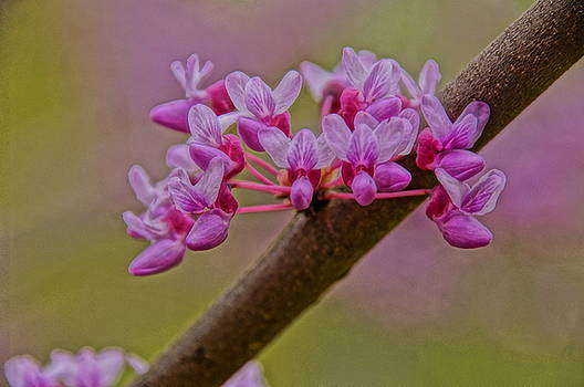 Redbuds by Julie Grandfield