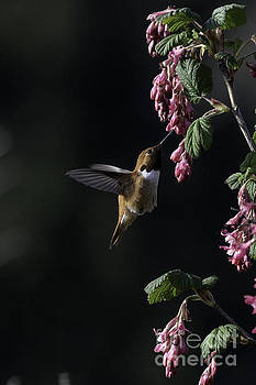 Redcurrant Rufous by Moore Northwest Images