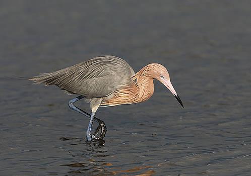 Reddish Egret  by Jack Nevitt