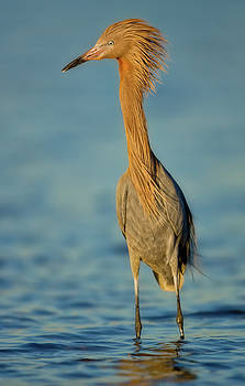 Reddish Egret by Jerry Fornarotto