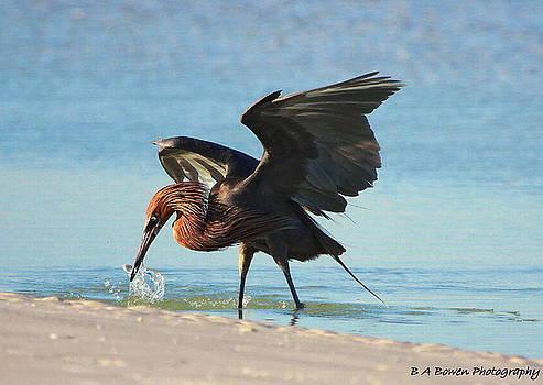 Barbara Bowen - Reddish Egret nabs a Fish