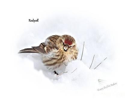 Redpoll by Debbie Stahre