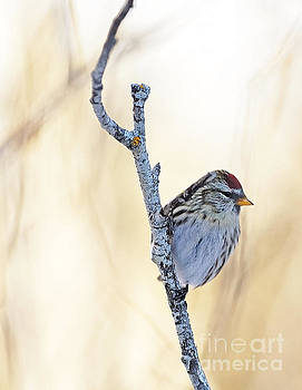 Redpoll in Minnesota by Natural Focal Point Photography