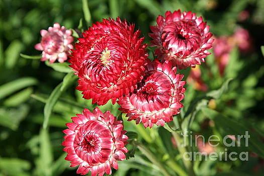 Chuck Kuhn - Reds Flowers