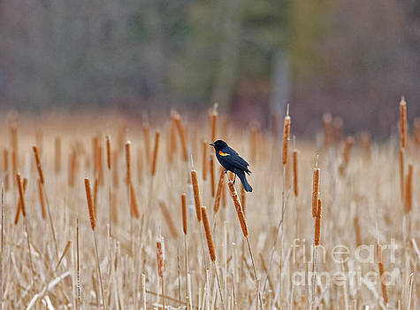 Redwing on the Reeds by Natural Focal Point Photography