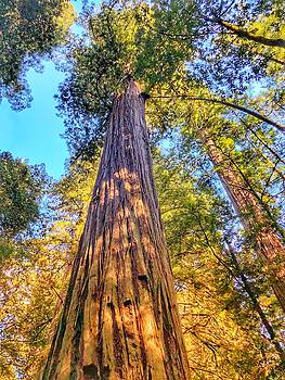 Redwood by Bonnie Bruno