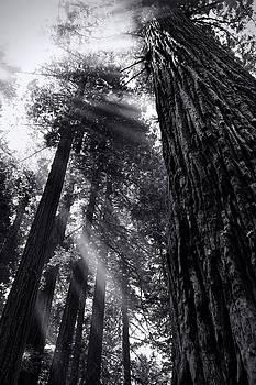 Redwood Dreams Monotone by Seil Frary