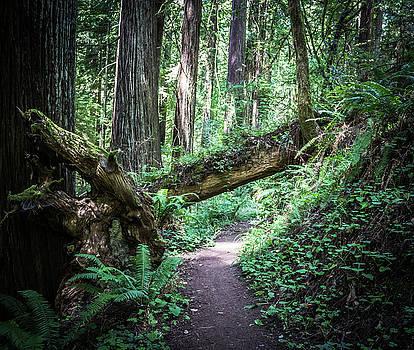 Redwood Forest by Elaine Webster