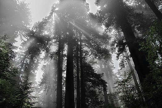 Redwood God Beams by Seil Frary