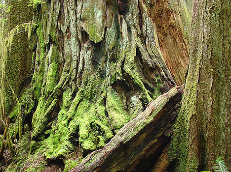 Baslee Troutman - Redwood Trees art prints Baslee Troutman