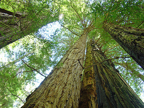 Baslee Troutman - Redwood Trees Green Branches Sky art prints