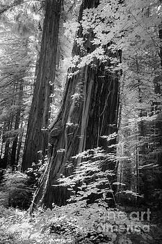 Redwood Trunk by Craig J Satterlee