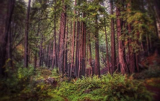 Redwoods @ Big Sur by Lynn Andrews