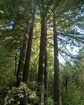 Redwoods at Half Moon Bay by Kelly Luquer