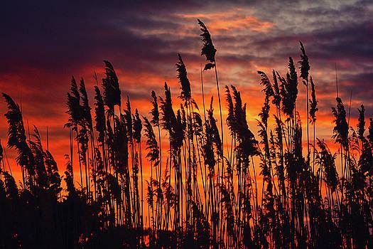 Reeds at Sunset by Raymond Salani III