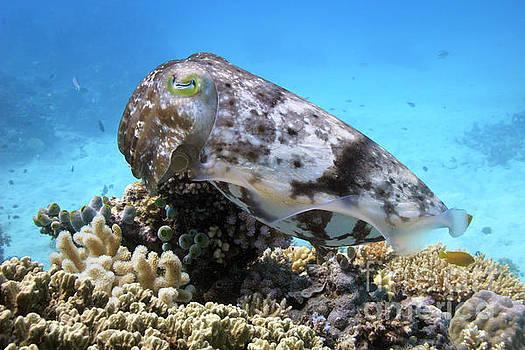 Reef or broadclub cuttlefish sepia latimanus  on coral reef by Carl Chapman