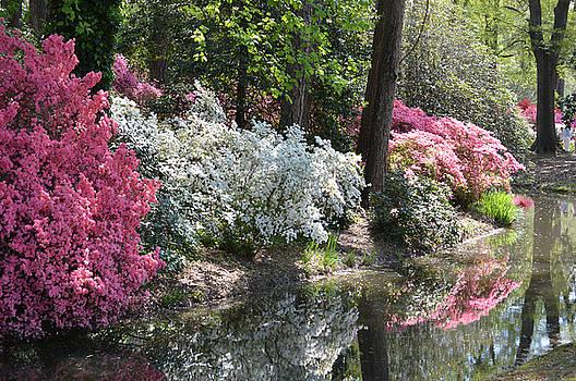 Reflecting Azaleas by Linda Geiger