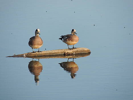 Reflecting Eurasian Wigeons by Red Cross