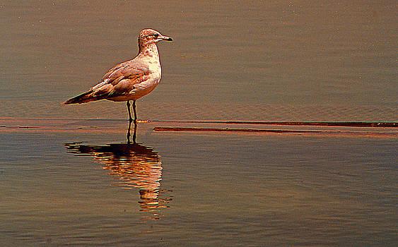 Reflecting Gull by Bob Whitt