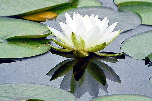 Reflecting Luminous Water Lily by Nicki Bennett