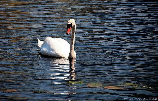 Reflecting Swan by Wayne Marshall Chase