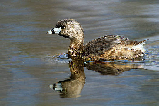 Reflection of a Grebe  by Timothy McIntyre