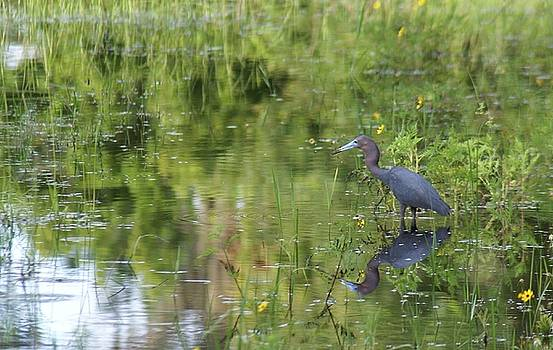 Patricia Twardzik - Reflection of a Little Blue Heron