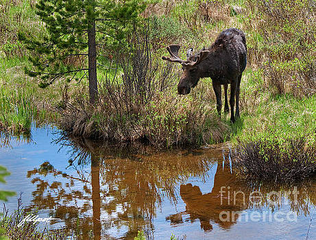 Reflections of a Moose by Jim Fillpot