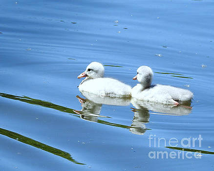 Reflections Of Fluffy Cygnets by Kathy M Krause