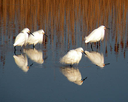 Reflections of Four Snowy Egrets by Donald Cameron