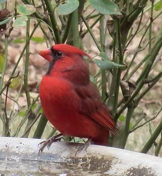 Regal Cardinal by Sandra McClure