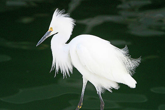 Regal Egret by Shoal Hollingsworth