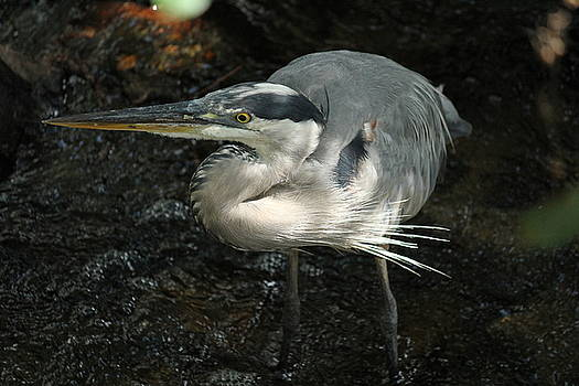 Regal Heron by Theresa Willingham