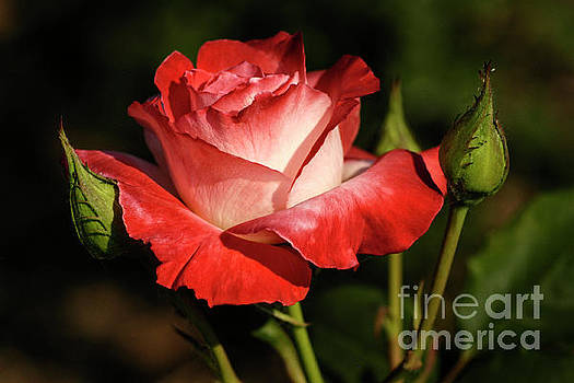 Regal Rose by ArtissiMo Photography