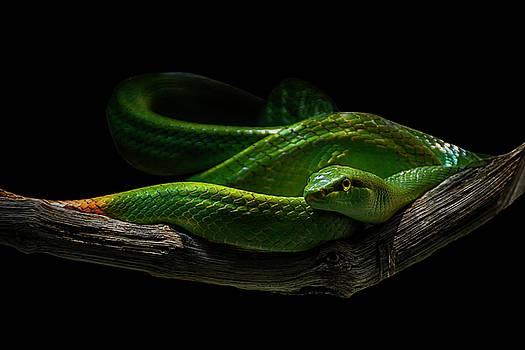 Rein Snake by Joachim G Pinkawa
