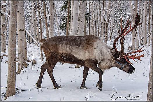 Erika Fawcett - Reindeer